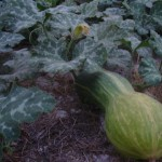 Courgette een veelzijdige groente en supergezond!